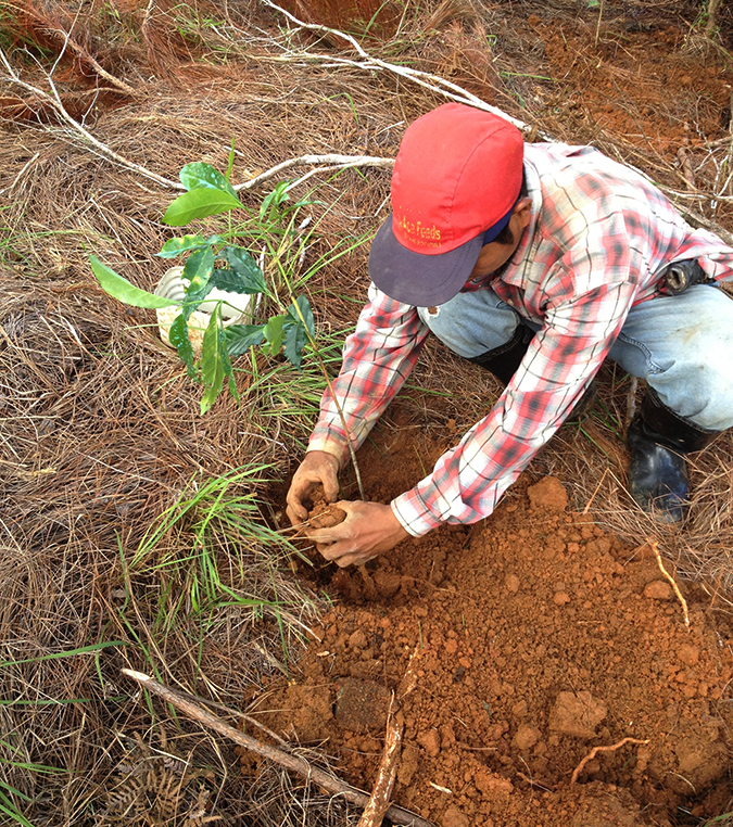 Putting the coffee tree into the ground