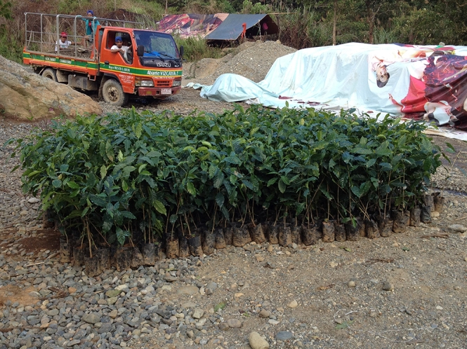 Coffee trees in poly bags taken out from the nursery, waiting to be planted into the ground